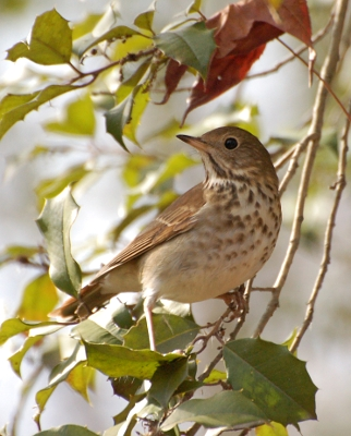 Hermit thrush resting on tree branch