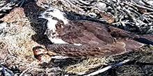 Osprey Nest Cam